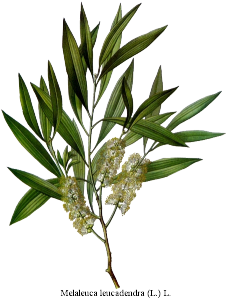 Leaves of the Tea Tree